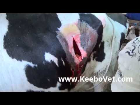 Dislocation Abomasi (Stomach) In Dairy Cow, Veterinarian Doctor Performs Surgery