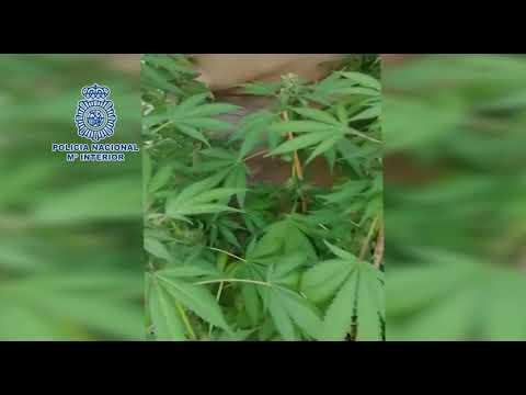 Plantación de marihuana en Tías