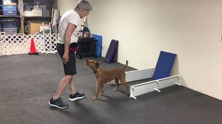 Callan (Irish Terrier) Performer Tricks 2020