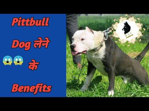 Pitbull Dog buying benefits // पिटबुल कुत्ता लेने के फायदे  !! Dog Ultimate Care