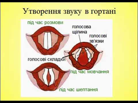 Будова голосового апарату
