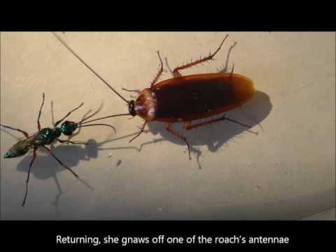 Neuro-parasitogy of the Jewel Wasp and its Zombie Cockroach Host