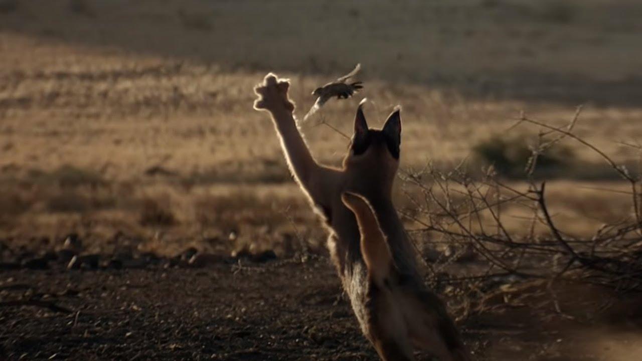Охотник на птиц - Элитный кот Каракал! Каракал против бородавочников и шакалов. Интересные факты!