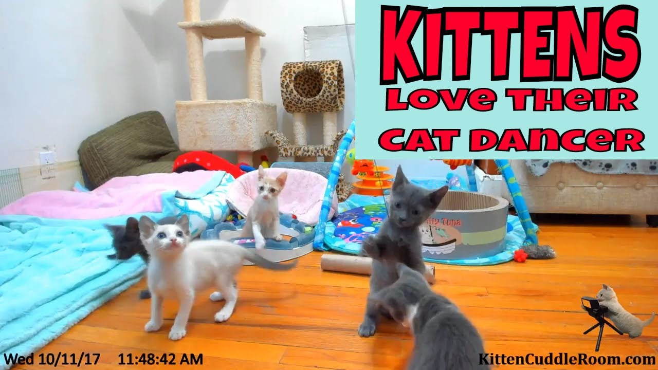 KITTENS PLAYING with one of their favorite toys! The Cat Dancer in the Kitten Cuddle Room!