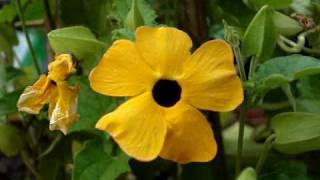 Collecting Black-Eyed Susan Vine Seeds