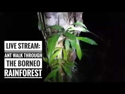 LIVE: ANT SEARCH IN THE BORNEO JUNGLE...