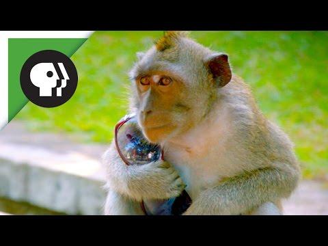 Monkeys Steal People's Belongings to Trade for Food