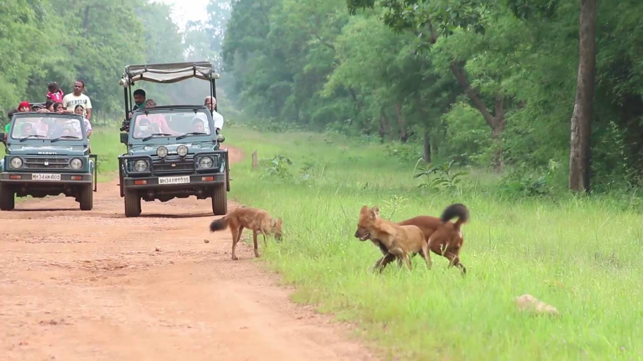 Tiger, wild dog , Deer Sighting Amazing Tadoba Safari | 2016 Video