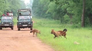 Tiger, wild dog , Deer Sighting Amazing Tadoba Safari | 2016 Video