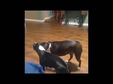 boston terrier star trek fight