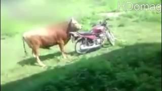 Motosiklete Hallenen Azgın Boğa