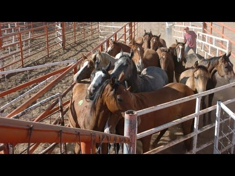 Kill Pen Horses: The catch 22 of equine rescue.