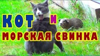 Кот и морская свинка