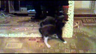 кот отжигает перед зеркалом