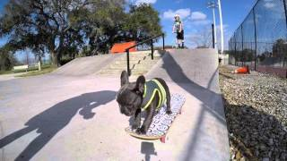 Ivan the French Bulldog learning how to skateboard