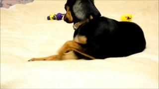 Что нужно сделать перед тем, как завести щенка той-терьера