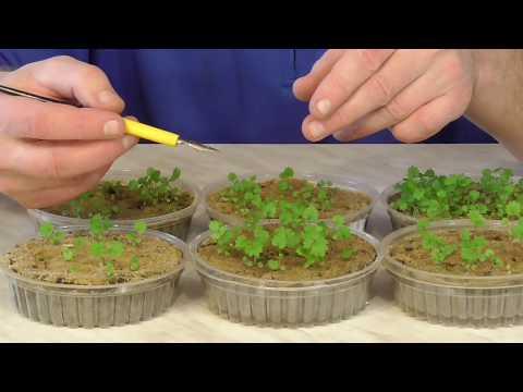 Как вырастить клубнику земляникү из семян. Ч.1 | выращивание | земляника | клубника | рассада | огород | дача | сад