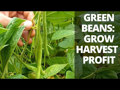 How To Grow & Harvest Green Beans For Profit