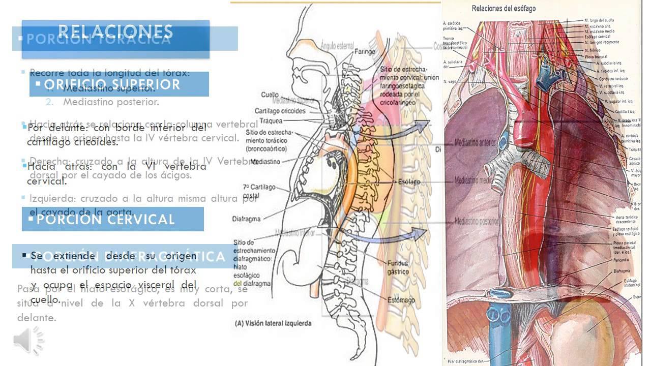EL ESÓFAGO - Anatomía - YouTube