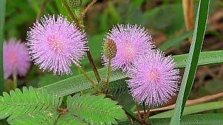 Мимоза стыдливая(часть-1). Живой цветок.
