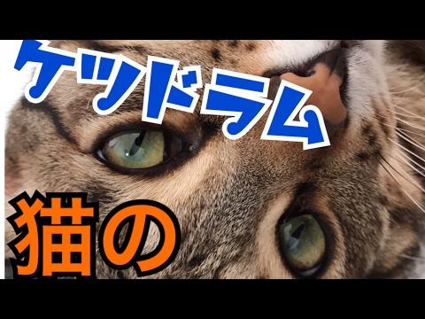 猫のお尻でドラムしてみた【ニャンドロメダニャンドロメダ】