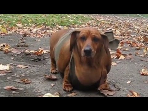 Obese wiener dog gets tummy tuck