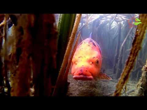 Carpe Koï Et Brochet - Underwater