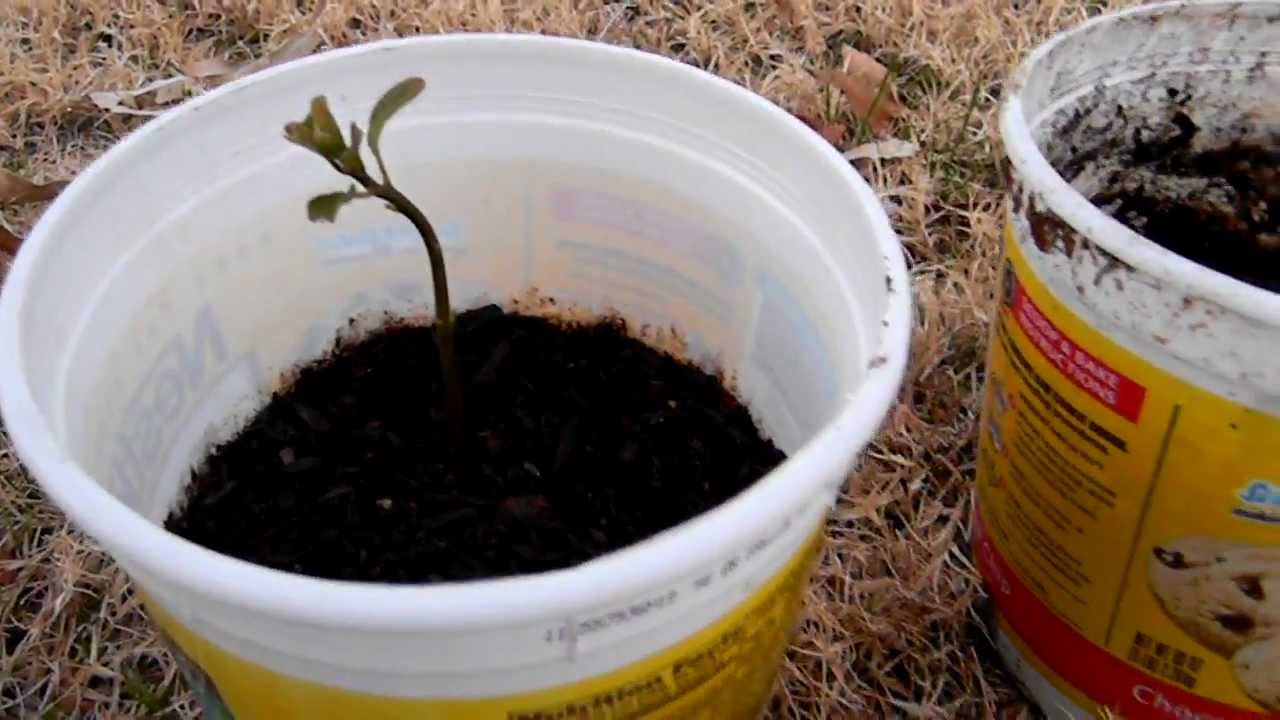 How to grow an avocado tree easy way using soil and pit for Where can i find soil