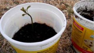 How to Grow an Avocado Tree: Easy Way Using Soil and Pit