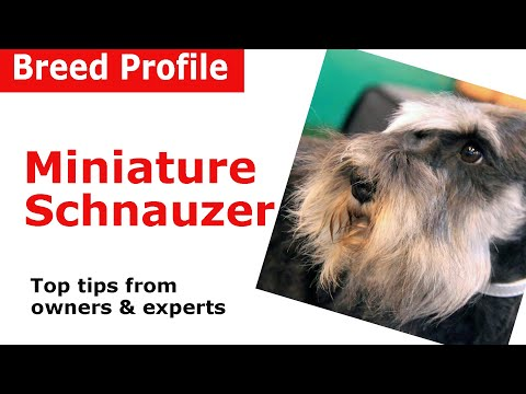 Miniature Schnauzer dog breed guide