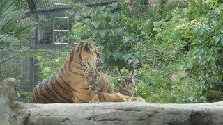 仙台市の八木山動物公園は2日、繁殖に成功した絶滅危惧種のスマトラト...