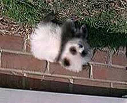 Pomeranian Panda Dog  YouTube
