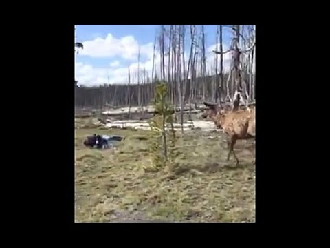 Elk charges woman in Yellowstone National Park