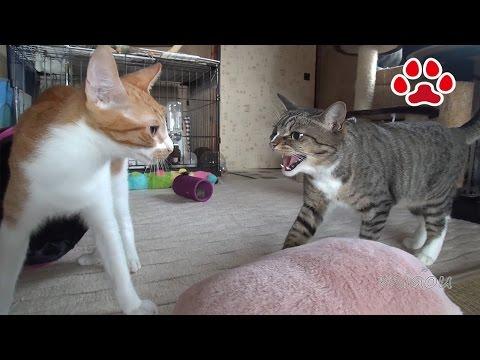 Cat angry Mimi forgave Maya 【Cat's room.Miaou】
