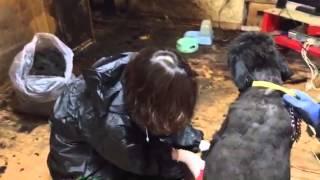 糞尿まみれで鎧のような毛玉を刈っているところ。