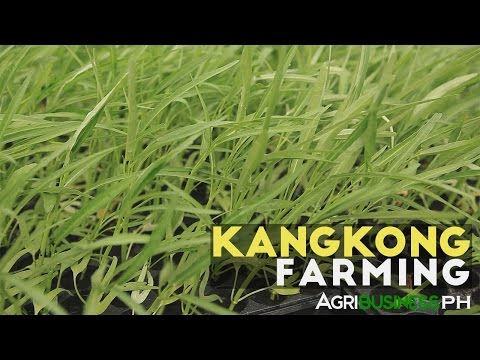 How to grow Kangkong or water spinach | Agribusiness How It Works