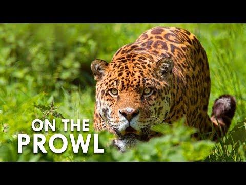 Jaguar Hunts Tapir
