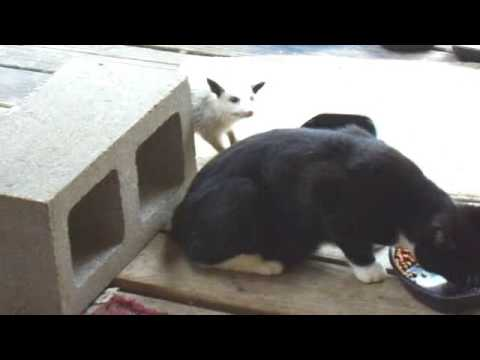 Young Opossum vs blind cat Baby