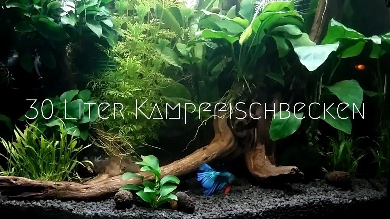 30 Liter Aquarium Siamesischer Kampffisch Youtube