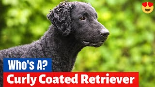Which Dog Breed is a Curly Coated Retriever? What's so special about them?