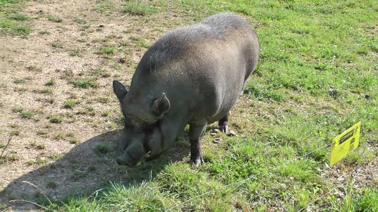 I ma piggy big and chubby