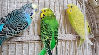 Nature sounds: Parakeets Singing, Talking, Chirping, kissing each o...