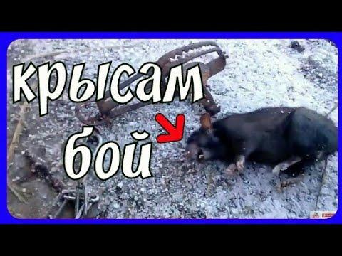 Как поймать крысу в капкан что положить