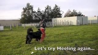 My Newfoundland Dog: Honeybun Running, Practicing And Heeling 09 June 2013