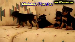 Miniature Pinscher, Puppies, For, Sale, In, Des Moines, Iowa, Ia, Bettendorf, Marion, Cedar Falls, U
