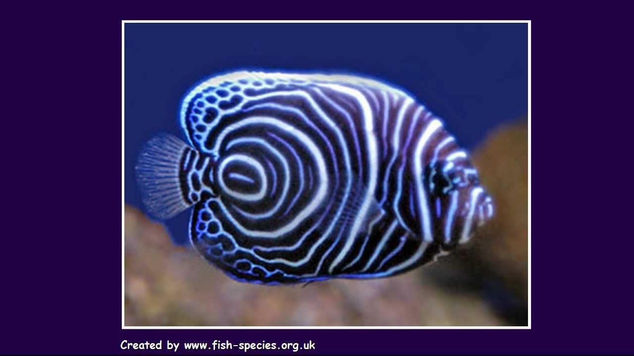 angel fish tropical fish species youtube