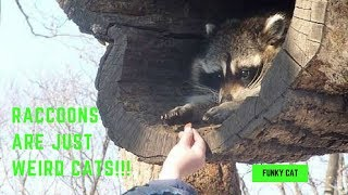 RACCOONS ARE JUST WEIRD CATS - Raccoons are Awesome Compilation