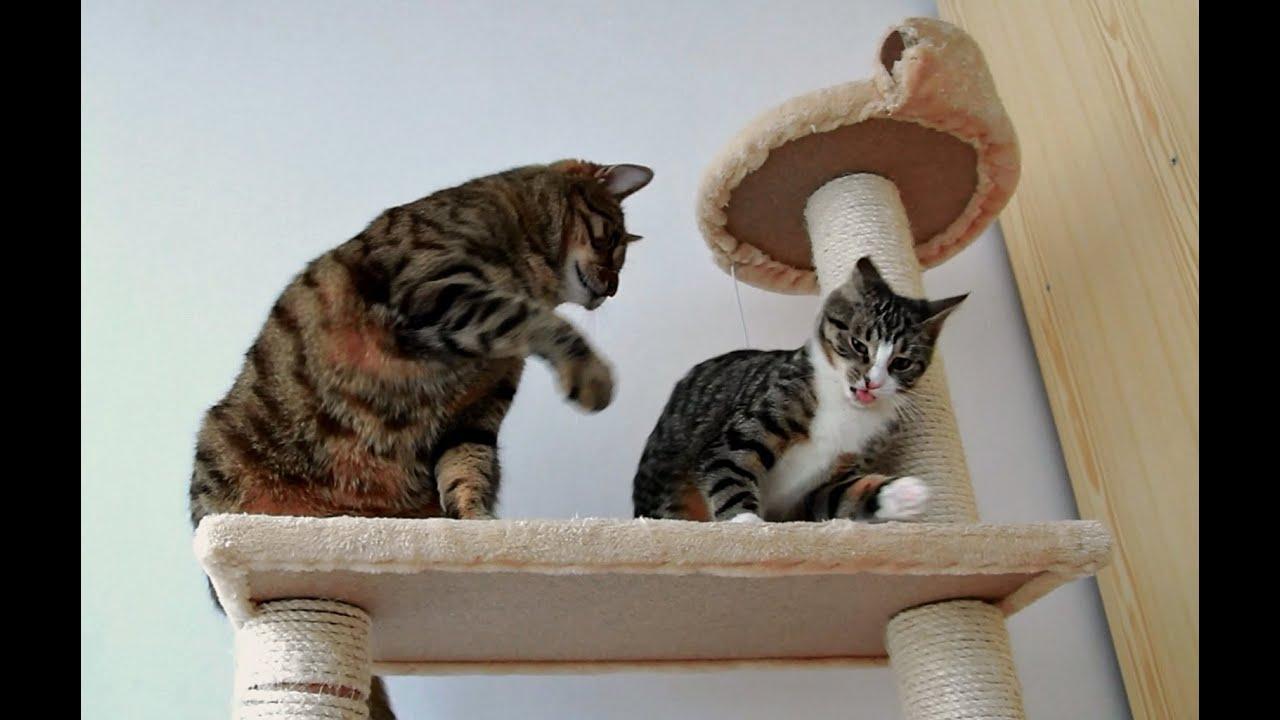 Kitten Adult 12