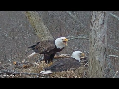 Dale Hollow Eagles ~ Intruder! Aerial Fightings & Territorial Disputes ~ 2.18.18