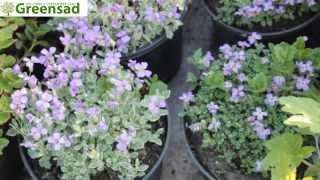 Обриета (фиолетовый) - видео-обзор от Greensad
